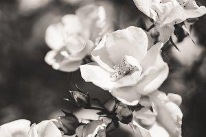 Groomed shrub of tiny white roses