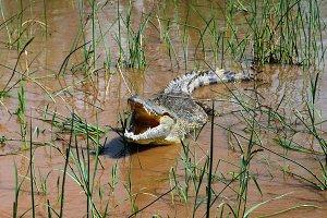 The yawning Nile crocodile Chamo lak