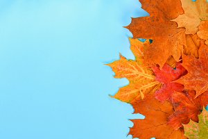 Autumn composition: Bright maple lea