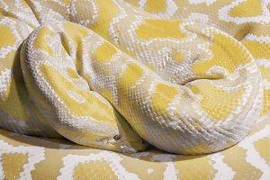 Albino Indian python closeup
