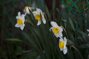 Narcissus in the green grass.