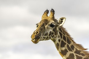 Close up of head of female Giraffe