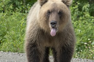 Kamchatka brown bear put his tongue