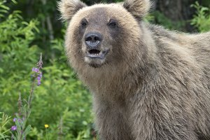 Portrait hungry Kamchatka brown bear