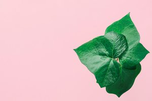 Potted Green Ivy Leaves on Pink