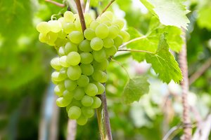 Ripe fresh green grape