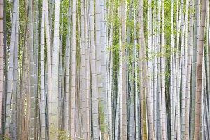 Bamboo, Arashiyama Grove
