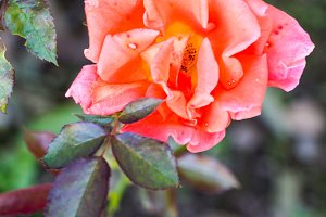 Bi colored pink and yellow rose