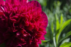 Red peony at the green background
