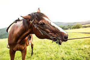 A brown riding horse eating grass
