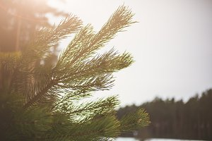 Winter photo with a Christmas pine