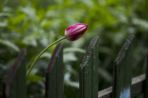 Pink tulip over wooden palisade.