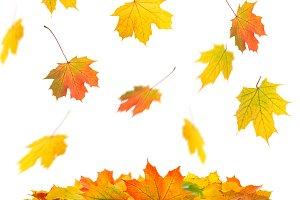 Falling maple leaves Autumn fall