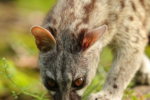 Genet smelling in a forest