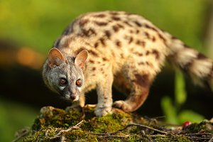 Genet portrait in a forest