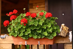 flower box with geranium flowers on