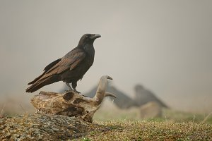 Raven sitting on a skull in the fog