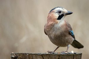 Eurasian jay on the bird feeder.