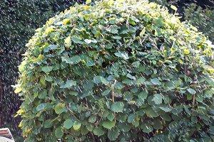 Hazel bush and water drops