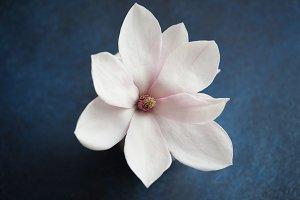 Magnolia flower close-up