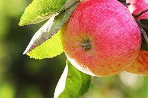 Fresh ripe apples on apple tree bran