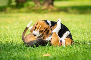 Dog beagle on the grass