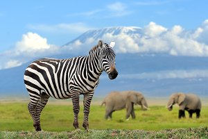 Zebra on elephant and Kilimanjaro ba