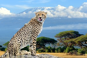 Wild african cheetah on Kilimanjaro