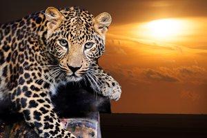 Leopard on sunset