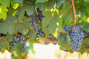 Vineyard with Lush, Ripe Wine Grapes