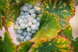 Vineyard with Lush, Ripe Wine Grapes