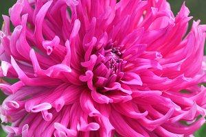 Pink flower of chrysanthemum
