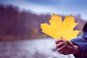 autumn maple leaf in a hands
