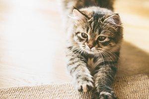 Fluffy kitten sharpens its claws