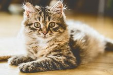 Fluffy Siberian kitten on floor by  in Animals
