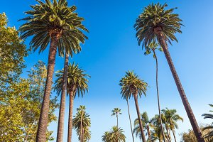 Famous palms of Beverly Hills in Los