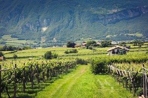 Vineyard in Trento