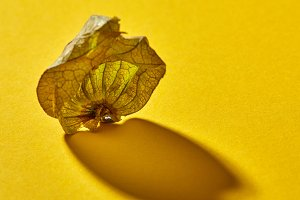 Dry shell Physalis fruit on a yellow