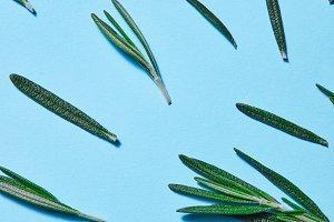 Rosemary green leaves on blue