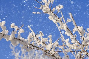 Snowcovered trees and branches