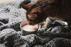 A tabby cat and cocoa with milk