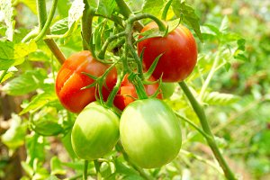 Red and green tomatoes on the bush.