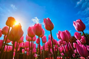 Blooming tulips against blue sky low