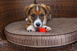 Little puppy in a wooden chair