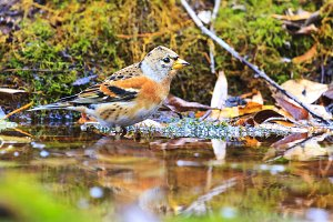 brambling bathed in a forest puddle