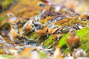 brambling in the autumn forest water