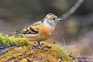 brambling in the autumn forest
