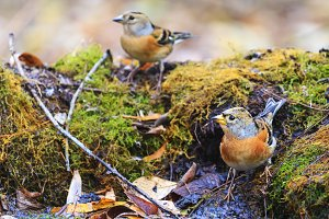 bramblings bathed in a forest puddle