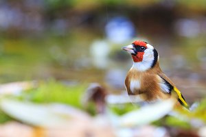 goldfinch among fallen leaves of