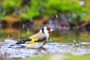 goldfinch autumn forest bathed in a